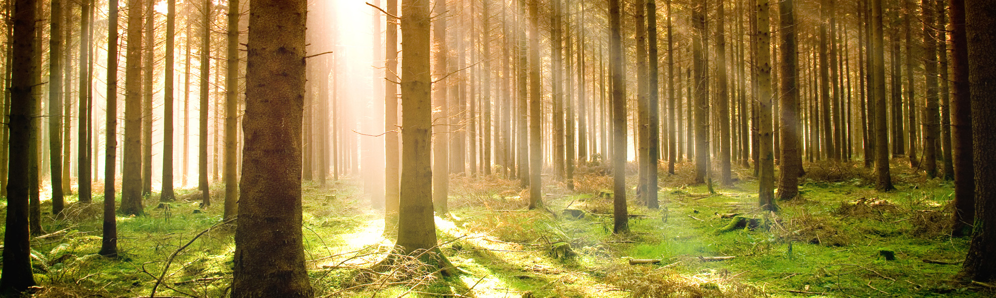 Forest in the morning sun